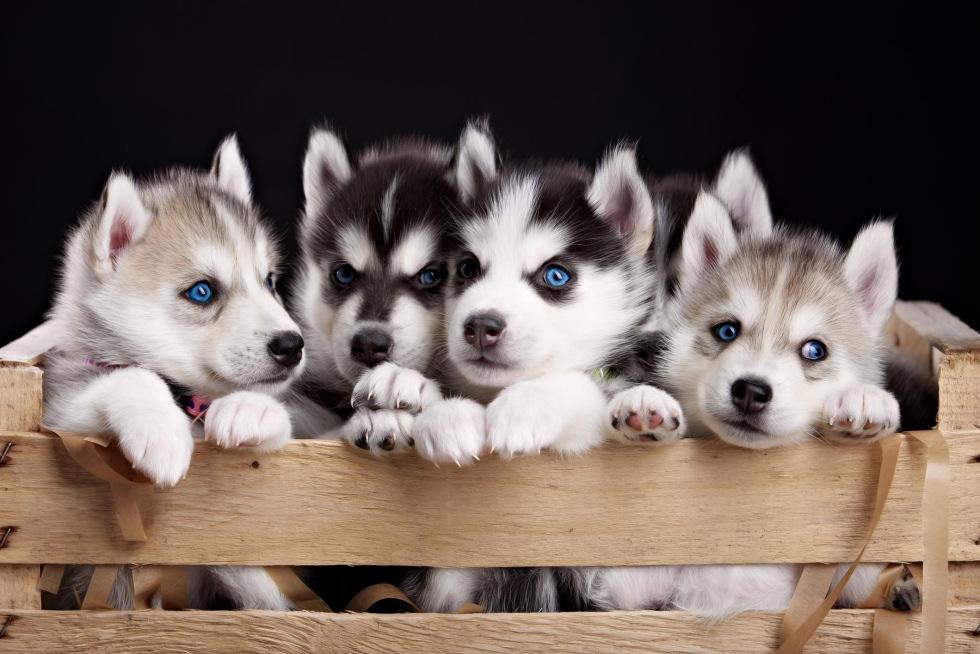 シベリアンハスキー,兄弟犬