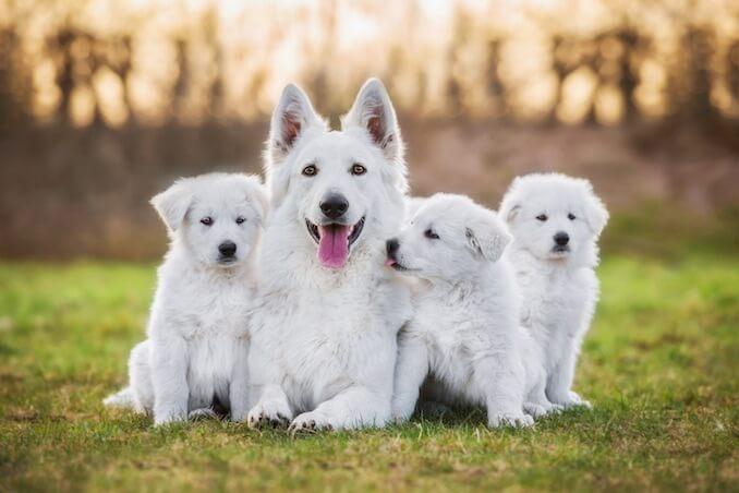 ホワイトスイスシェパード,兄弟犬