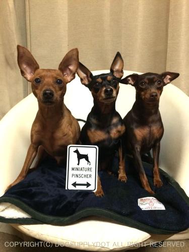 ミニチュアピンシャ―の愛犬たちとソファーで一緒に記念撮影しています♪